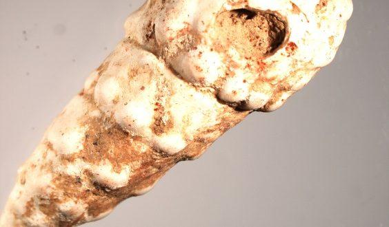 Ulita fosilního plže (Pirenella picta) s otvorem a stopami červeného barviva. Foto L. Zahradníková. Copyright AÚ AVČR Brno.