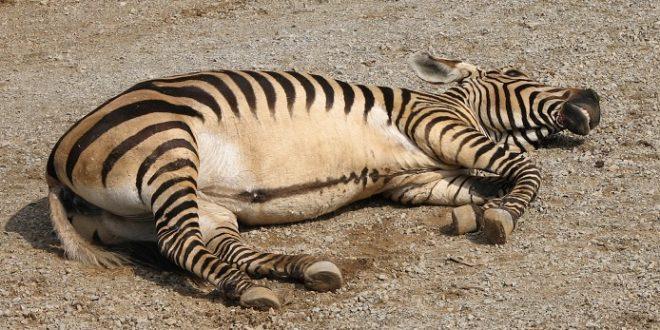 Zebra, autor: Ltshears - Trisha M Shears, zdroj: Wikipedia, licence obrázku: public domain