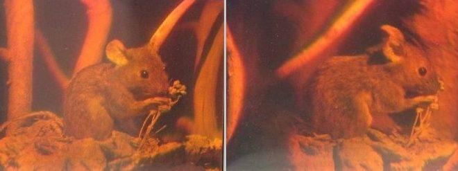 Hologram: Dvě fotky hologramu myši z různých úhlů pohledu. Autoři obrázku: Georg-Johann Lay, Epzcaw, zdroj Wikipedia, licence obrázku public domain