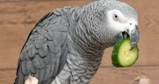 papoušek šedý žako